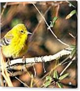 Warbler Acrylic Print by Debbie Sikes