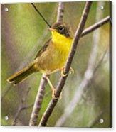 Warbler In Sunlight Acrylic Print