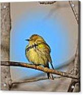 Warbler Acrylic Print