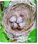 Warbler Nest Acrylic Print