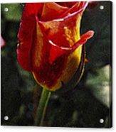 Warm Colored Rosebud  Acrylic Print