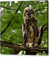 Warm Young Great Horned Owl Acrylic Print
