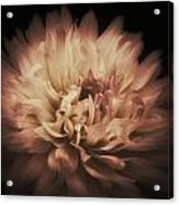 Warmth Of A Dahlia Acrylic Print