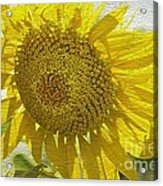 Warmth Upon My Back - Sunflower Acrylic Print