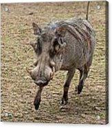 Warthog Approach Acrylic Print