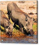 Warthog Family Acrylic Print