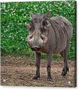 Warthog Stance Acrylic Print