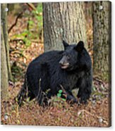 Wary Black Bear Acrylic Print