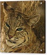 Wary Bobcat Acrylic Print by Penny Lisowski