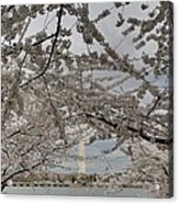 Washington Monument - Cherry Blossoms - Washington Dc - 011323 Acrylic Print by DC Photographer