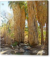 Washingtonian Fan Palms With Large Skirts In Andreas Canyon-ca Acrylic Print