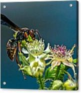 Wasp Acrylic Print