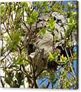 Wasps' Nest Acrylic Print
