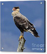 Watchful Eyes Crested Southern Caracara Acrylic Print