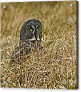 Watchful Eyes Of The Great Gray Owl Acrylic Print