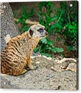 Watchful Meerkat Acrylic Print
