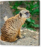 Watchful Meerkat Vertical Acrylic Print