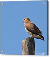 Watchtower-hawk Acrylic Print