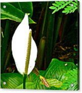 Water Arum In Park Across From Wat Phrathat Doi Suthep In Chiang Mai-thailand. Acrylic Print