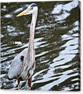 Water Bird Acrylic Print