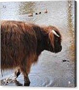Water Buffalo Acrylic Print