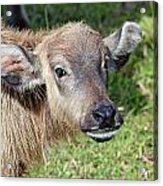 Water Buffalo Calf Acrylic Print