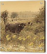 Water Buffaloes At Corroboree Billabong V2 Acrylic Print