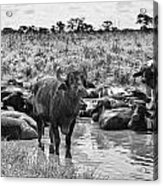 Water Buffaloes-black And White Acrylic Print