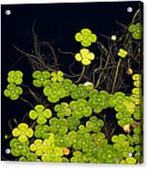 Water Clover Acrylic Print