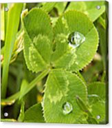 Water Droplets On Clover Acrylic Print