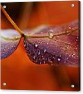 Water Droplets On Red Autumn Leaf Acrylic Print