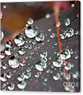 Water Drops On Cotinus Acrylic Print