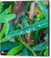 Water Drops On The  Grass 0003 Acrylic Print