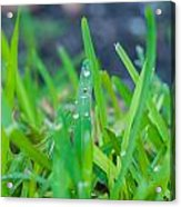 Water Drops On The  Grass 0007 Acrylic Print