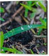 Water Drops On The  Grass 0009 Acrylic Print
