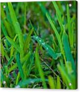 Water Drops On The  Grass 0010 Acrylic Print