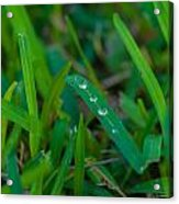 Water Drops On The  Grass 0011 Acrylic Print