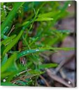 Water Drops On The  Grass 0012 Acrylic Print