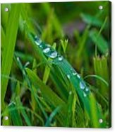 Water Drops On The  Grass 0015 Acrylic Print