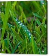 Water Drops On The  Grass 0016 Acrylic Print