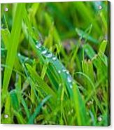 Water Drops On The  Grass 0017 Acrylic Print