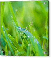 Water Drops On The  Grass 0025 Acrylic Print