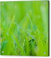Water Drops On The  Grass 0027 Acrylic Print
