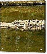 Water Gator Acrylic Print