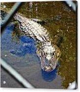 Water Hole Gator Acrylic Print