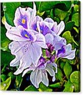 Water Hyacinth On Rapti River In Chitwan Np-nepal Acrylic Print