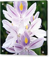 Water Hyacinth Acrylic Print