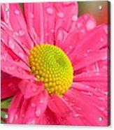 Water Kissed Pink Chrysanthemum  Acrylic Print