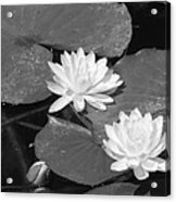 Water Lilies And Bud Acrylic Print