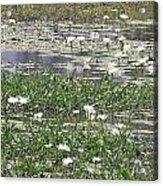 Water Lilies Acrylic Print by Gordon  Grimwade